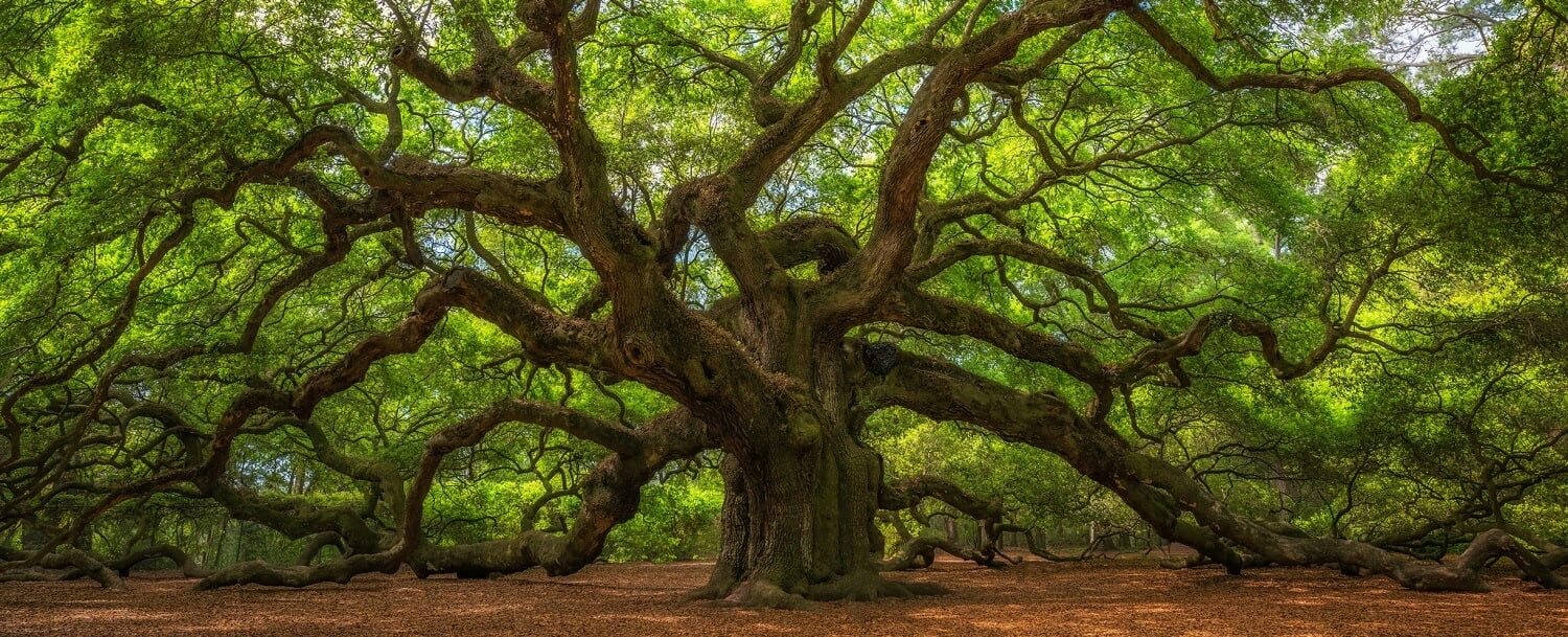 Angel Oak Charleston GettyImages-Michael Ver Sprill