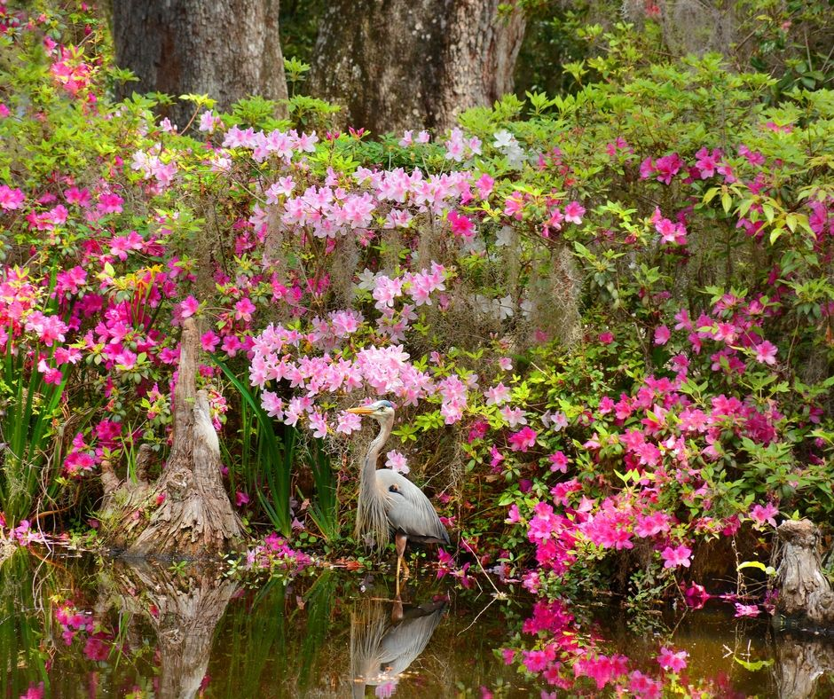 Heron in the gardens at Magnolia Plantation.
